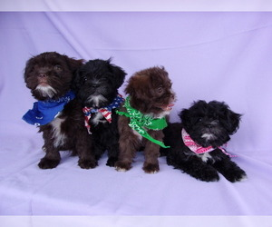 View Ad Shih Poo Litter Of Puppies For Sale Near Virginia