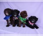Shih-Poo Puppy For Sale in CATLETT, VA, USA