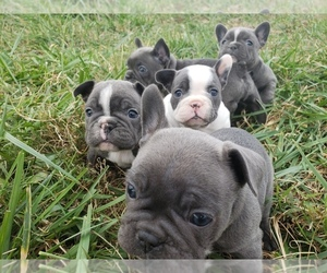 View Ad: French Bulldog Litter of Puppies for Sale near Tennessee