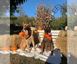 Belgian Malinois Litter for sale in VOLGA, WV, USA