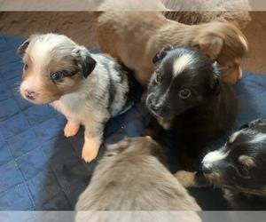 Miniature Australian Shepherd Litter for sale in BETHANY, IL, USA