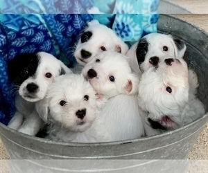 Jack-A-Poo Litter for sale in JACKSON, OH, USA