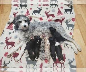 F2 Aussiedoodle Litter for sale in WOODFORD, WI, USA