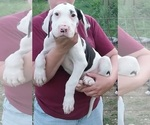 Great Dane Puppy For Sale in SPRAGGS, PA, USA