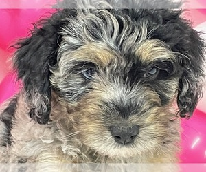 Aussiedoodle Miniature  Litter for sale in HICKSVILLE, OH, USA