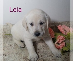 Labrador Retriever Litter for sale in CATO, NY, USA