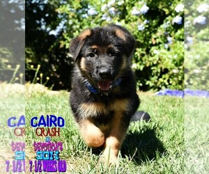 German Shepherd Dog Litter for sale in MURRIETA, CA, USA