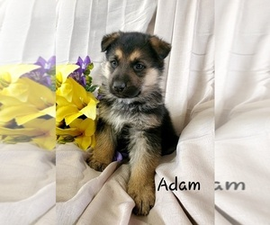 German Shepherd Dog Litter for sale in COLBY, WI, USA