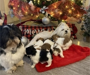 Shih Tzu Litter for sale in NAPLES, FL, USA