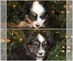 Miniature Australian Shepherd Puppy For Sale in JOPLIN, MO, USA