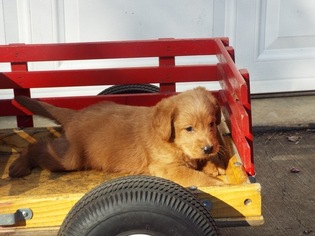 Labradoodle Litter for sale in PROSPECT, VA, USA