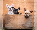 French Bulldog Puppy For Sale in HUGHSON, CA, USA