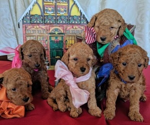 Goldendoodle Litter for sale in EAGLE, ID, USA