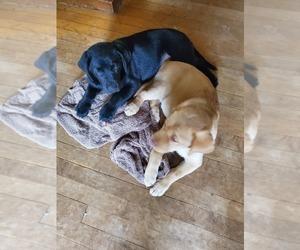 Labrador Retriever Litter for sale in BARRONETT, WI, USA