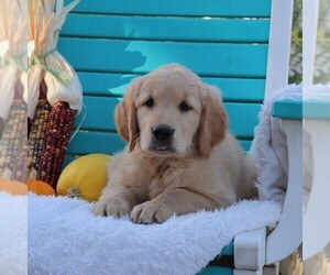 Golden Retriever Litter for sale in GAP, PA, USA