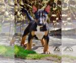 Small Miniature Bull Terrier