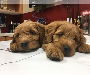 Goldendoodle (Miniature) Litter for sale in JENKS, OK, USA
