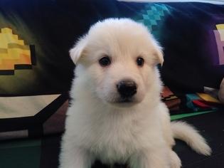 German Shepherd Dog Litter for sale in CORNING, CA, USA