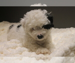 Small Poodle (Miniature)-Yorkie-Poo Mix