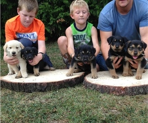 Golden Shepherd Litter for sale in HUNTINGDON, PA, USA