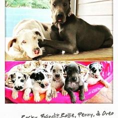 Great Dane Puppy For Sale in MCALLEN, TX, USA