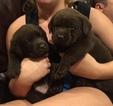 Labrador Retriever Puppy For Sale in PLATTE CITY, MO, USA