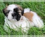 Shih Tzu Puppy For Sale in MURPHYSBORO, IL, USA