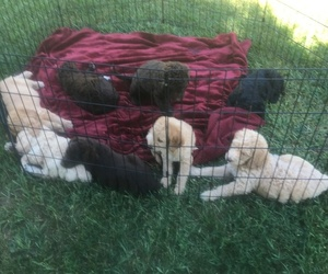 Labradoodle Litter for sale in DECKERVILLE, MI, USA