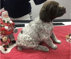 German Shorthaired Pointer Litter for sale in PAULDING, OH, USA