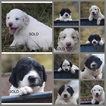 Pyredoodle Puppy For Sale in BERRY HILL, TN, USA