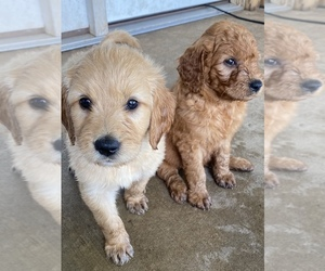 Goldendoodle Litter for sale in WALNUT GROVE, MO, USA
