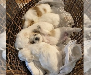 Morkie Litter for sale in WELLSBORO, PA, USA