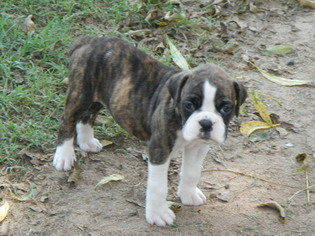 Boxer Litter for sale in BEECH ISLAND, SC, USA