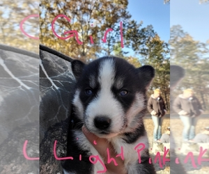 Siberian Husky Litter for sale in WEST PLAINS, MO, USA