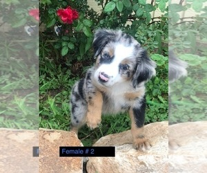 Miniature Australian Shepherd Litter for sale in NATURITA, CO, USA