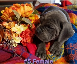 Cane Corso Litter for sale in ENNIS, TX, USA