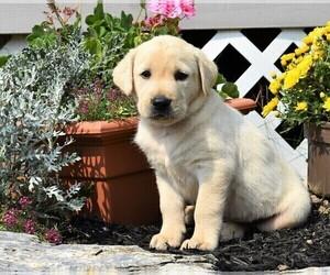 Labrador Retriever Litter for sale in SMITHSBURG, MD, USA