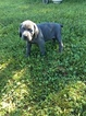 Weimaraner Puppy For Sale in LEWISTOWN, IL, USA