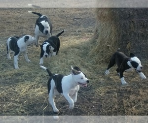 American Bulldog Litter for sale in CALDWELL, ID, USA