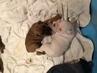 Boxer Puppy For Sale in CHATSWORTH, GA, USA