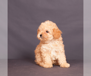Poodle (Miniature) Litter for sale in BROOKLYN, NY, USA