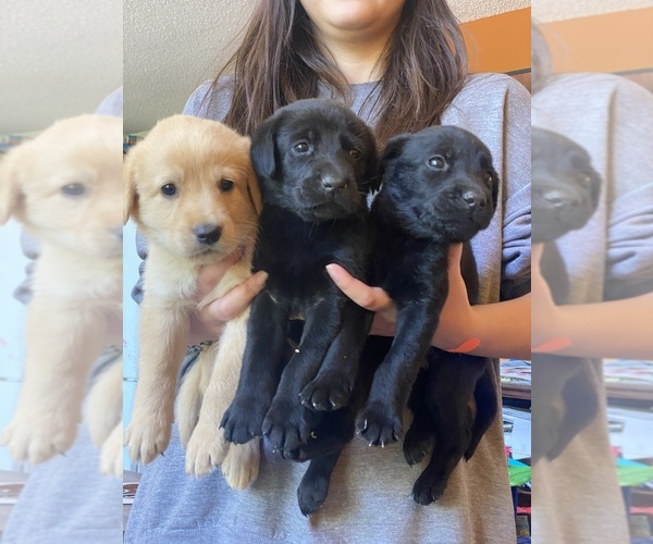 Medium Photo #1 Labrador Retriever Puppy For Sale in PINE CITY, MN, USA