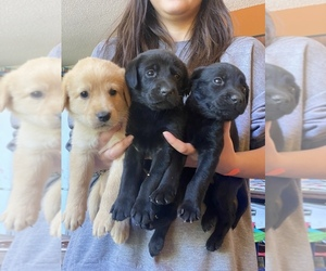 Labrador Retriever Litter for sale in PINE CITY, MN, USA