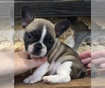 French Bulldog Puppy For Sale in OCALA, FL, USA