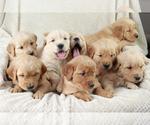 Golden Retriever Puppy For Sale in UNICOI, TN, USA