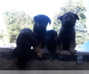 German Shepherd Dog Litter for sale in GILL, MA, USA