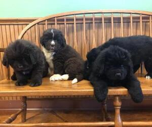 Newfoundland Litter for sale in FREMONT, OH, USA