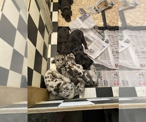 Great Dane Litter for sale in MINERVA, OH, USA