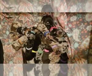 Catahoula Leopard Dog Litter for sale in RAYMOND, WA, USA