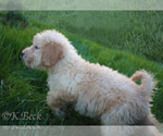 Goldendoodle Puppy For Sale in S HADLEY, MA, USA
